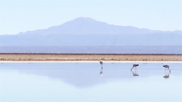 Three Flamingos feeding on Atacama salar lake