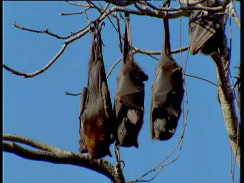Three Flying Foxes hang upside down from branch, middle bat turns and stretches, Australia