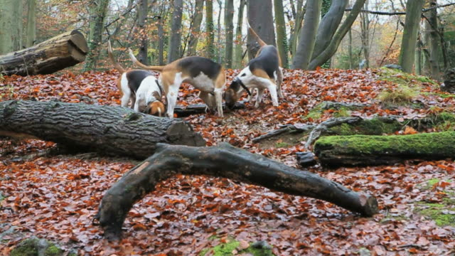 ws slo mo three foxhounds running and sniffing trail in forest / slough, buckinghamshire, uk - foxhound stock videos & royalty-free footage
