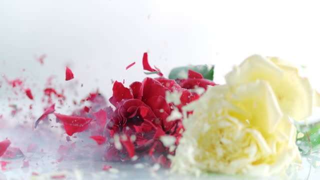 SLO MO three frozen roses shattering on white surface
