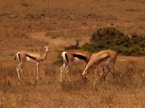 three gazelles - pflanzenfressend stock-videos und b-roll-filmmaterial