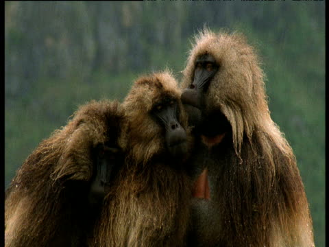 vídeos y material grabado en eventos de stock de three gelada baboons huddle together in rain, ethiopia - cabeza de mono