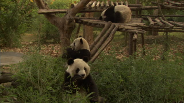 MS Three Giant Pandas (Ailuropoda melanoleuca) at Wolong National Nature Reserve, Sichuan, China