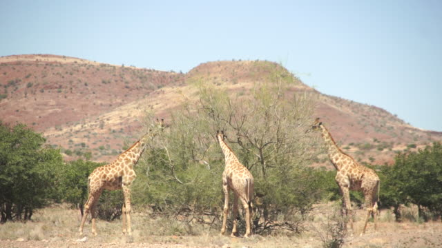 MS Three giraffes eating vegetation in front of mountains / Darmaland, Kunene, Namibia