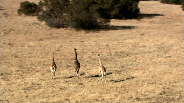 ws ts pov aerial three giraffes running in kruger national park / kruger national park, mpumalanga, south africa - small group of animals stock videos & royalty-free footage