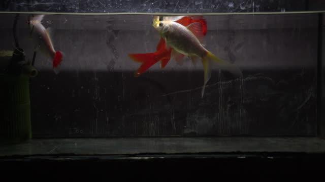 stockvideo's en b-roll-footage met drie goudvis in spartan aquarium - kleine groep dieren