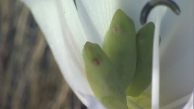 three green reed frogs nestle in a lily. - tarnung stock-videos und b-roll-filmmaterial
