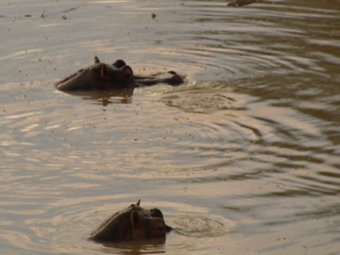 Three Hippopotamuses (Hippopotamus amphibious) at sunset, only the tops of their heads visible. They disappear as they go beneath the water, leaving only ripples. Shot in Luangwa, Zambia.