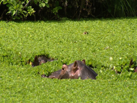 three hippopotamuses (hippopotamus amphibious) in a river covered with thick weeds. only their heads are visible above the green. the central hippopotamus (hippopotamus amphibious) disappears from view. shot in luangwa, zambia. - großwild stock-videos und b-roll-filmmaterial