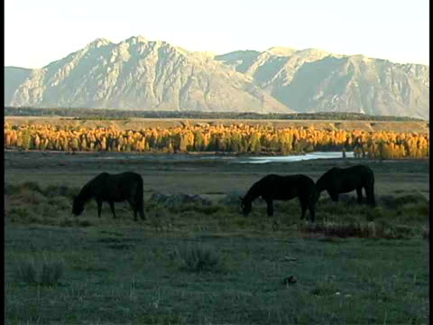 ms, three horses grazing in field, mountains in background, wyoming, usa - stationary process plate stock videos & royalty-free footage