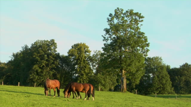 ws three horses grazing on alpine meadow, bavaria, germany - grasen stock-videos und b-roll-filmmaterial