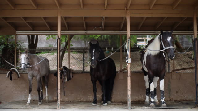WS Three horses lined up in separate stalls / Los Angeles, CA, United States