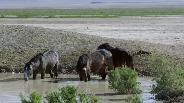 vídeos de stock, filmes e b-roll de three horses standing in water hole getting a drink - grupo pequeno de animais