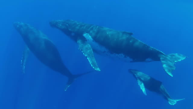three humpback whale swimming  towards  the surface - val cetacea bildbanksvideor och videomaterial från bakom kulisserna