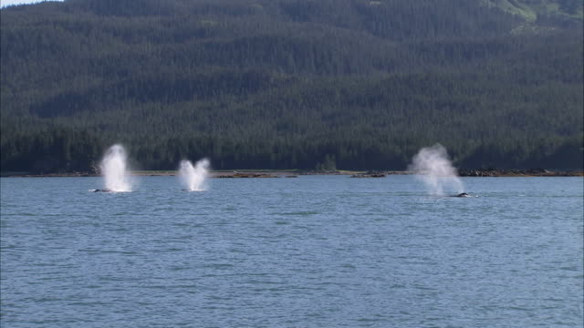 vidéos et rushes de three humpback whales breach the surface of the ocean and blow water from their blowholes. - évent