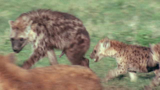 three hyena cubs play near their mother. - cub stock videos & royalty-free footage