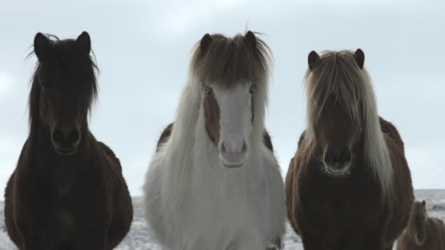Three Icelandic horses stand together and stare at the camera.