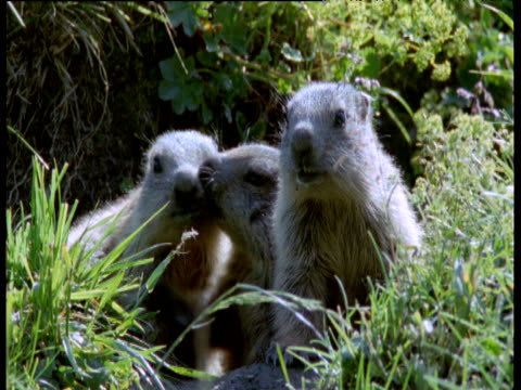 three infant marmots groom and look around outside their burrow, swiss alps - babyhood stock videos & royalty-free footage