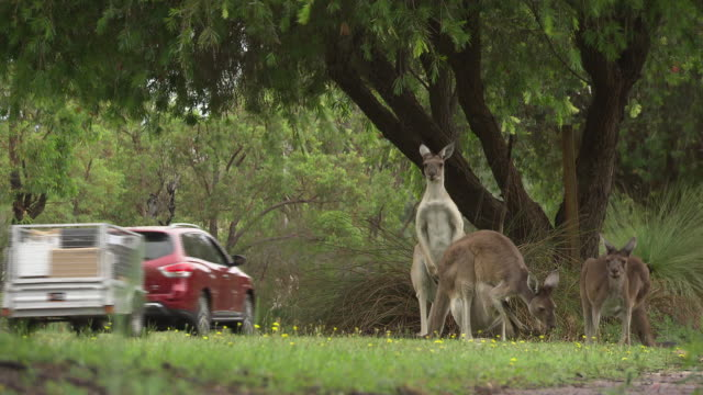 vidéos et rushes de three kangaroos looking at the camera beside rural road / eating grass - cars pass by in the background / joey in the mothers pouch / large kangaroo... - kangourou