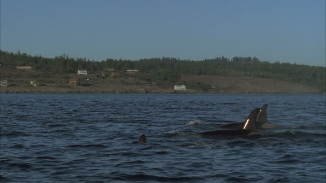 ms, ts three killer whales swimming - cetacea stock videos & royalty-free footage