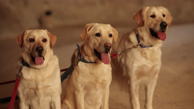 Three Labrador dogs in a limestone cave.