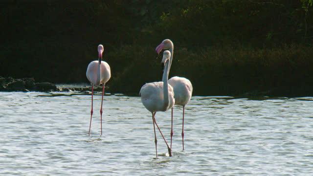 vídeos de stock e filmes b-roll de three lesser flamingos standing gracefully in shallow lake water - medium shot - water's edge