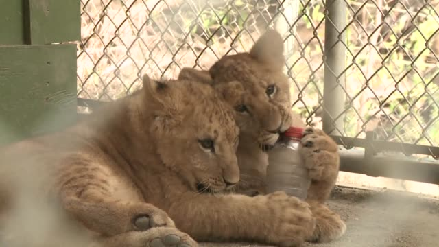 three lion cubs born during the recent california fires and evacuated out of harms way are reunited with their parents as they return to the wildlife... - lion cub stock videos & royalty-free footage