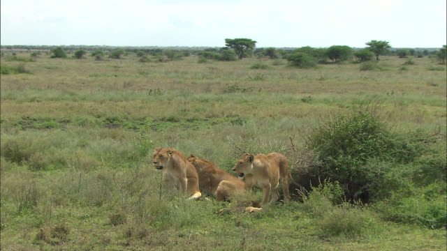 three lionesses and lion cubs on the grass at serengeti national park, tanzania - carnivora stock videos and b-roll footage
