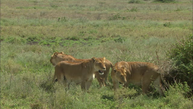 three lionesses on the grass at serengeti national park, tanzania - carnivora stock videos and b-roll footage