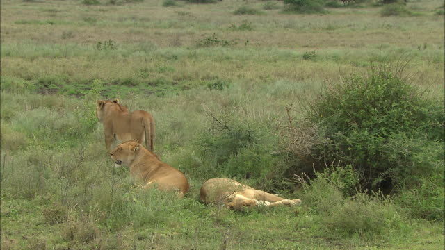 three lionesses sitting on the grass at serengeti national park, tanzania - carnivora stock videos and b-roll footage