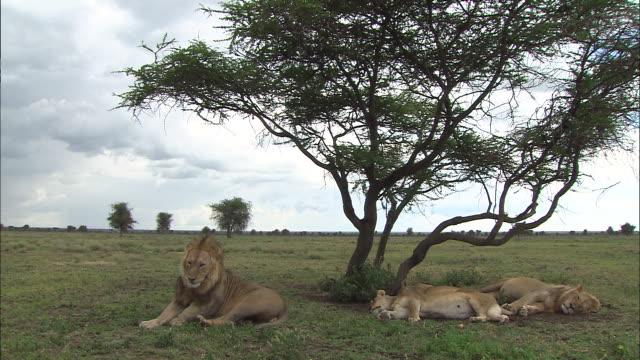 three lions lying down on the grass at serengeti national park, tanzania - サファリ動物点の映像素材/bロール