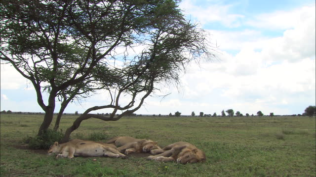 three lions lying down on the grass at serengeti national park, tanzania - resting stock videos & royalty-free footage