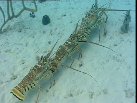 three lobsters walk across sea bed, bimini islands - in a row stock videos & royalty-free footage