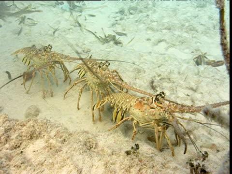 Three lobsters walk across seabed, Bimini Islands