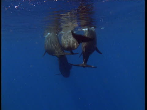 Three long finned pilot whales dive from surface together, Spain