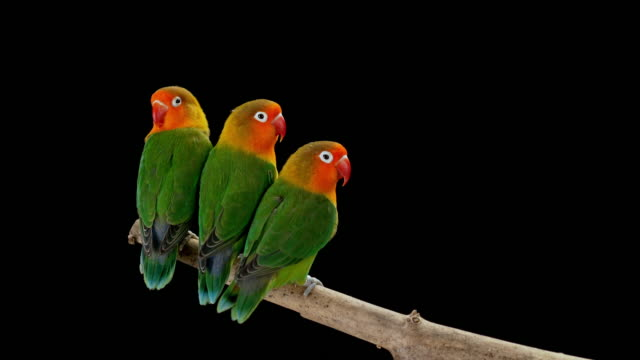 three lovebirds sitting on a branch very close to each other - three animals stock videos & royalty-free footage