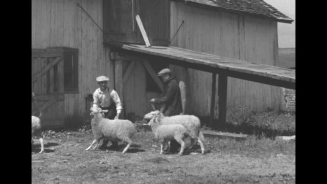 three marquis brothers leading four sheep across field to barn / vs one brother shearing sheep while other two hold animal / one brother holding wool... - sheep shearing stock videos & royalty-free footage