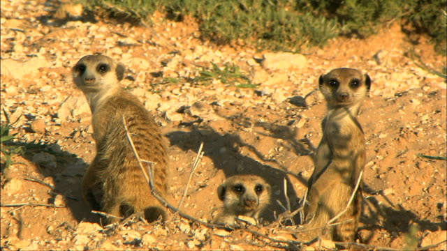 Three meerkats at their burrow looking at camera/ Kalahari/ Northern Cape/ South Africa
