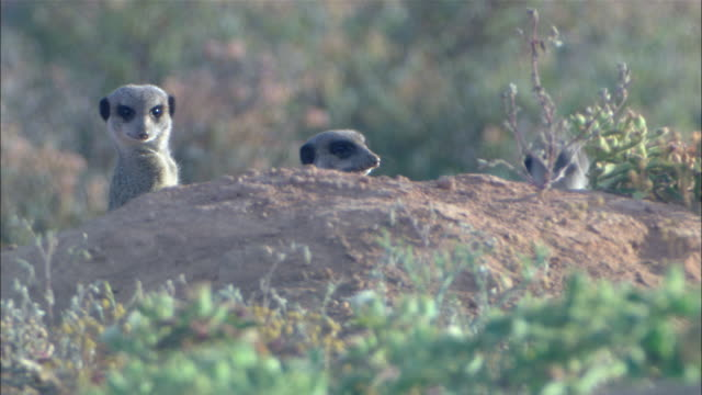 vidéos et rushes de ms, three meerkats behind mound, looking around, south africa - vigilance