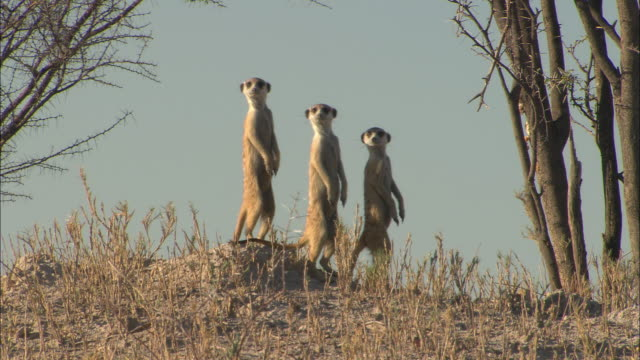 three meerkats stand in a row in the kalahari desert. - ボツワナ点の映像素材/bロール