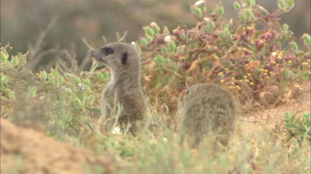cu, tu, td, three meerkats standing on hind legs in grass and looking around, south africa - the karoo stock videos & royalty-free footage