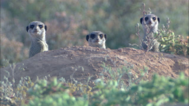 three meerkats watch cautiously from behind a dirt mound. - audio available stock videos & royalty-free footage