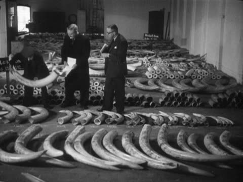 three men examine a african ivory that is due to be auctioned off in a london warehouse - wildlife conservation stock videos & royalty-free footage