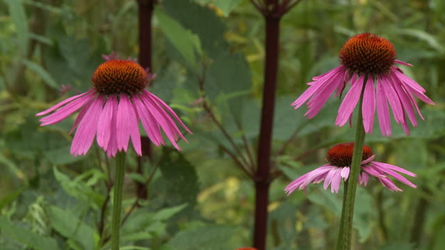 three narrow-leaved purple coneflowers - sonnenhut stock-videos und b-roll-filmmaterial
