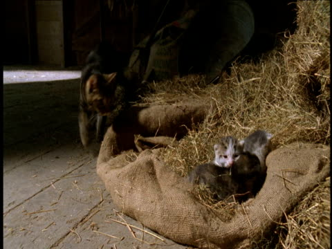 three new born kittens in nest of hay in barn, mother cat walks to nest and snuggles with kittens. - barn stock videos & royalty-free footage
