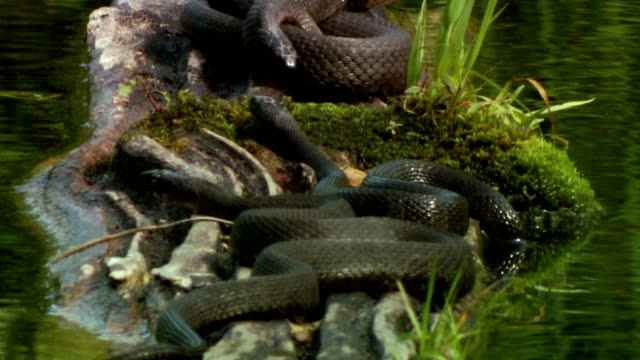 vídeos de stock, filmes e b-roll de ms three northern water snakes (nerodia sipedon) resting on rocks in pond, madoc, ontario, canada - grupo pequeno de animais