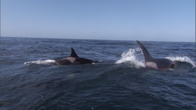 Three Orcas circle a wounded Steller's sea lion. Available in HD.