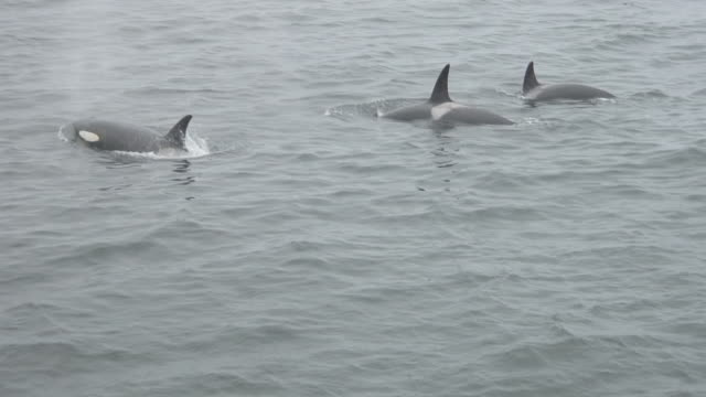 three orcas (killer whales) surfacing. - surfacing stock videos & royalty-free footage