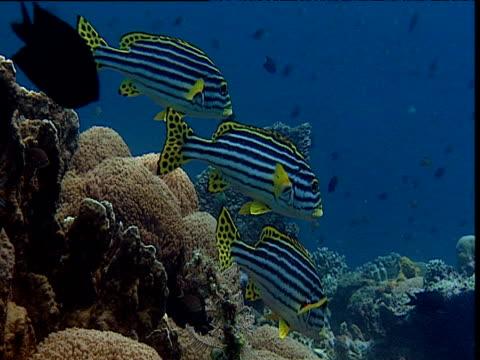 three oriental sweetlips hover over reef, sulawesi - sweetlips stock videos & royalty-free footage
