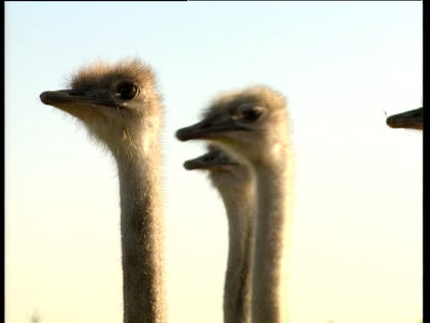 three ostriches amusingly turn heads to look around uk - animal neck stock videos & royalty-free footage